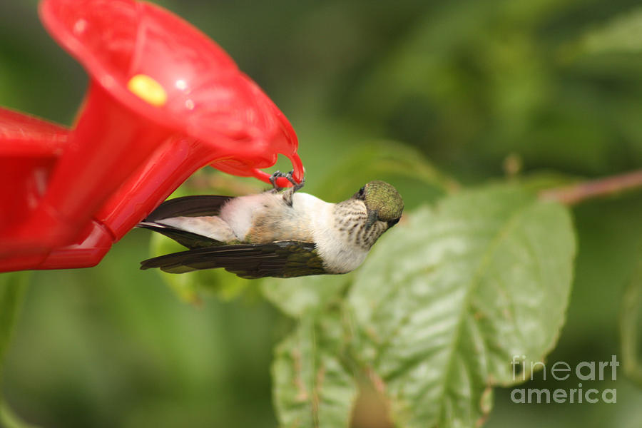 Female Photograph - Can I Help You Hummingbird  by Cathy  Beharriell