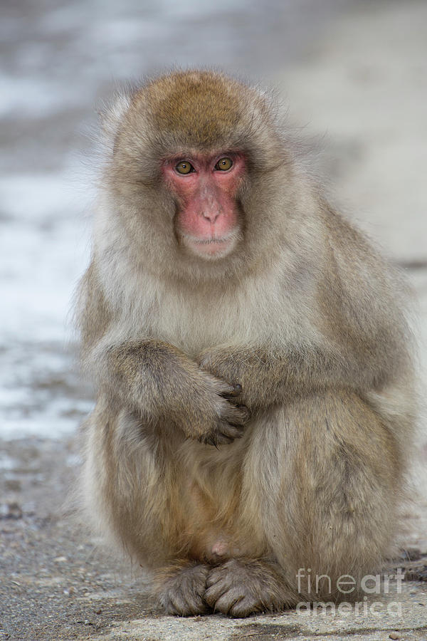 Snow Monkeys Photograph - Can You Help? by Leigh Lofgren