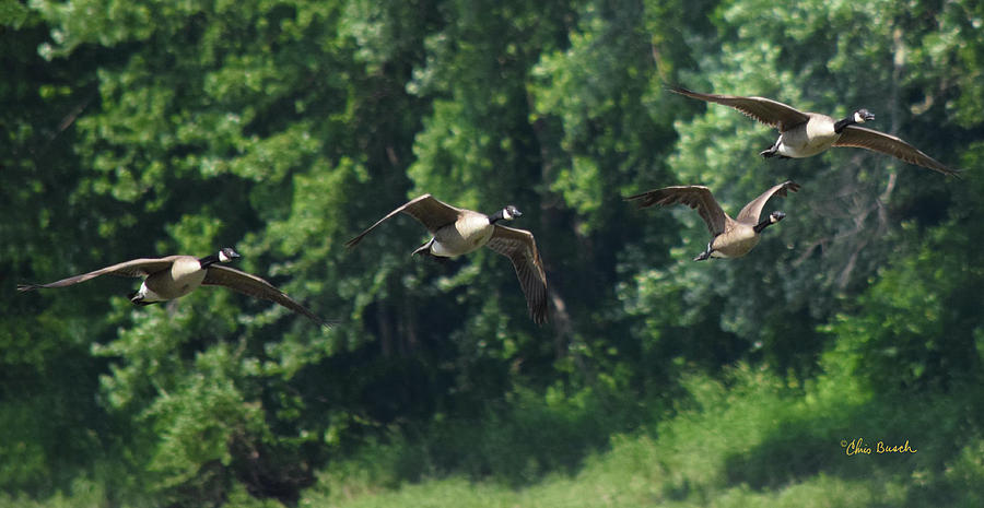 Canada geese 1 by Chris Busch