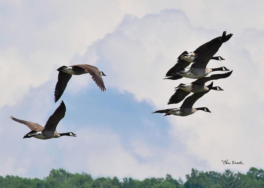 Canada geese 4 by Chris Busch