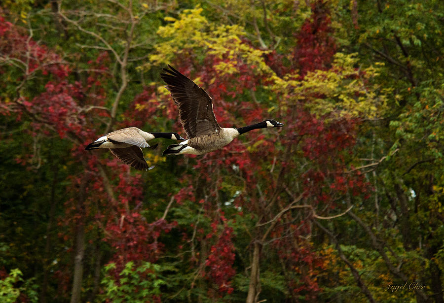 Canada Geese In Autumn Photograph by Angel Cher