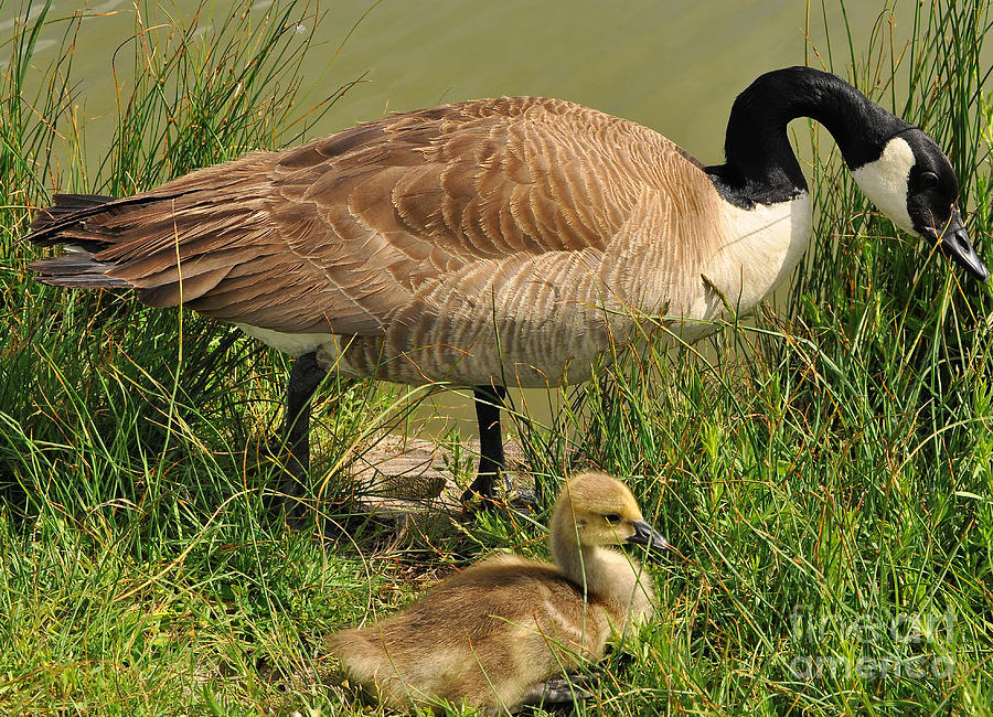 Canada Goose Photograph - Canada Geese Parent And Child  by Merrimon Crawford