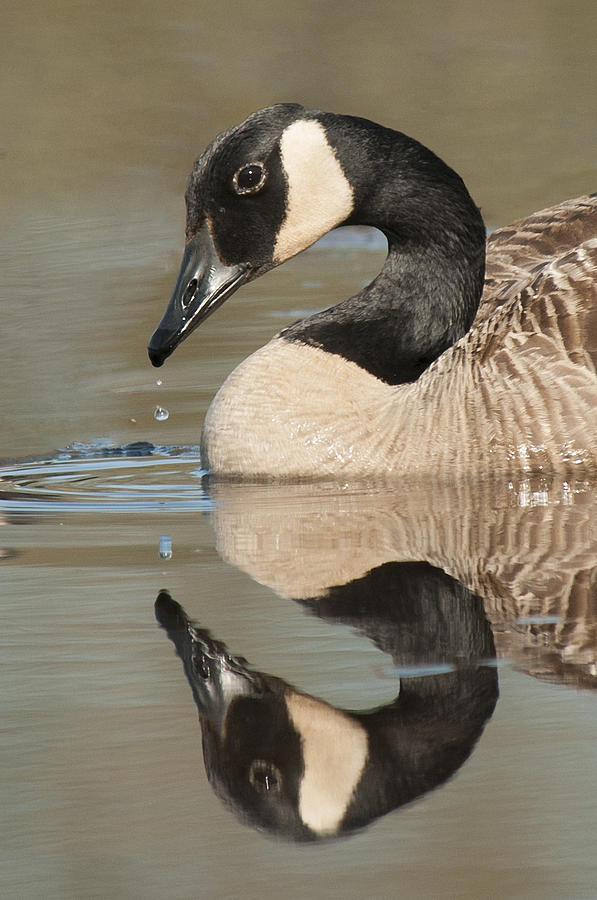 2014 Photograph - Canada Goose and Drop by Lauren Brice