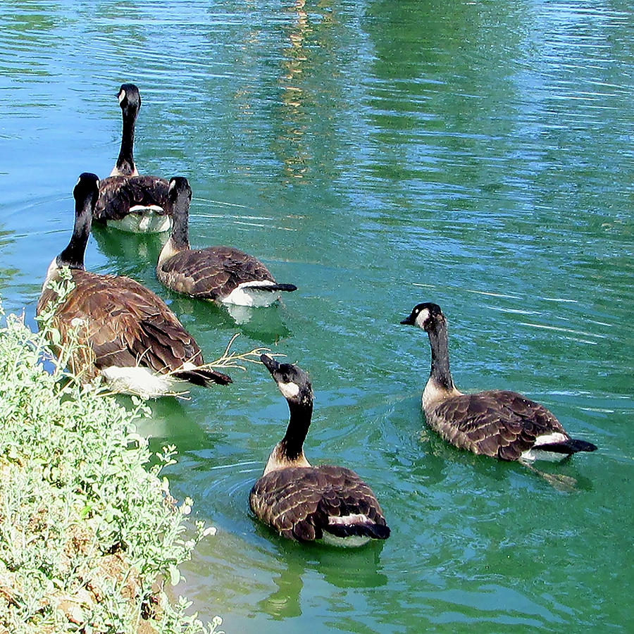 Canada Goose Family On A Delightful Summer Day Photograph