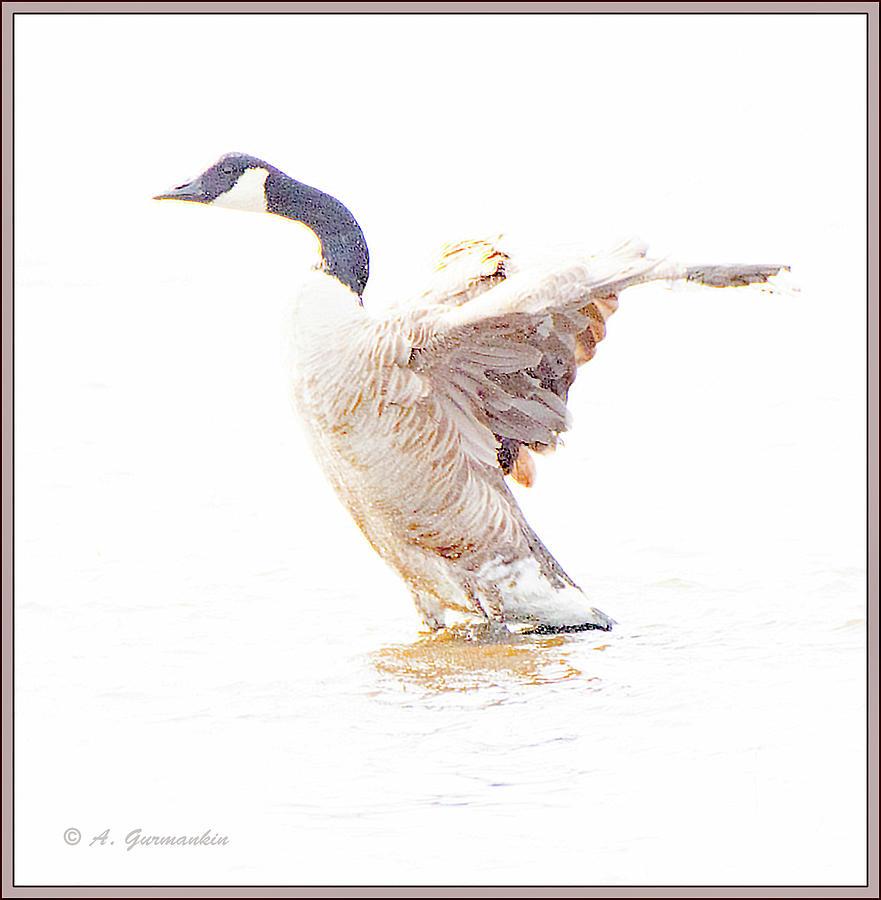 Canada Goose Digital Art - Canada Goose Flaps Wins by A Gurmankin