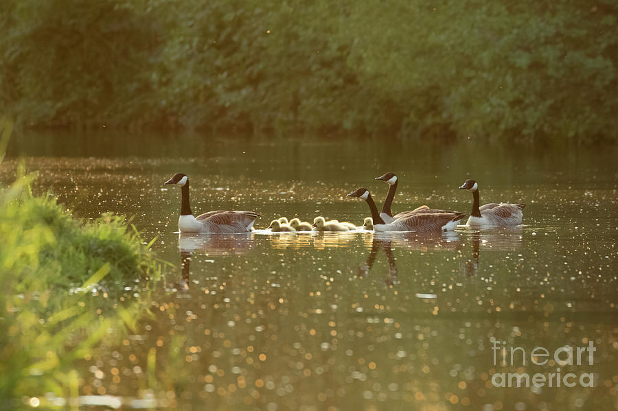 Branta Canadensis Photograph - Canada goose geese family - Branta canadensis - with goslings on a by Paul Farnfield