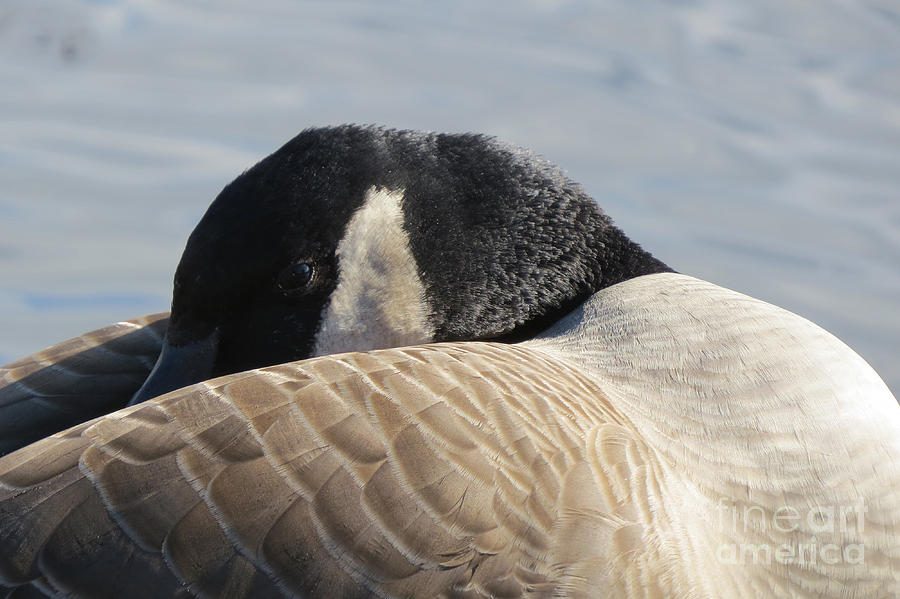 Nature Photograph - Canada Goose Head by Mary Mikawoz