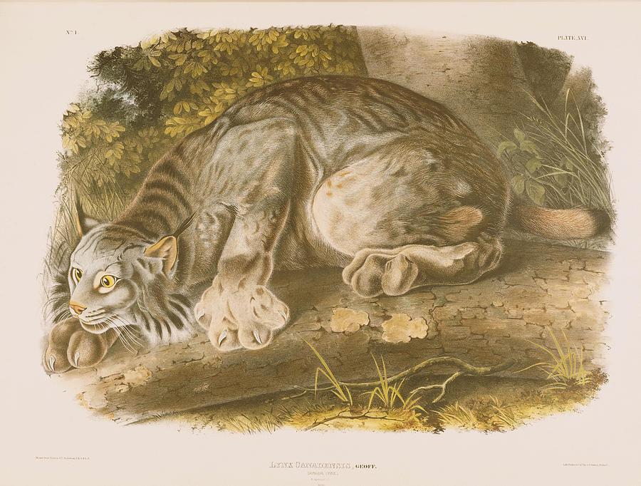Cat Drawing - Canada Lynx by John James Audubon
