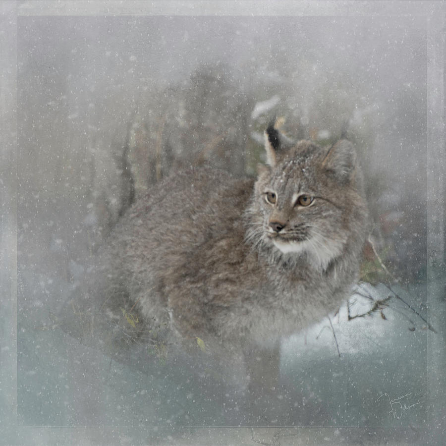 Canada Lynx Painted Photograph