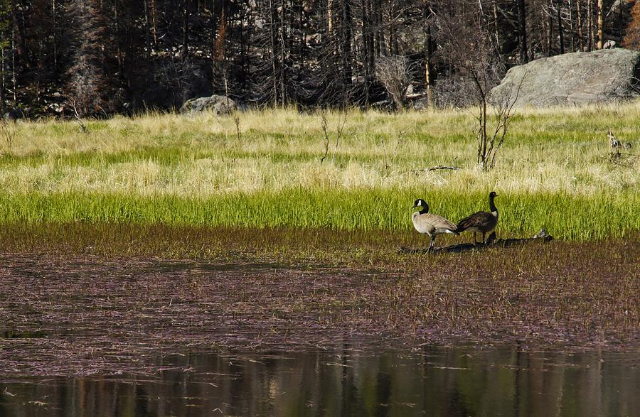 Canadian Geese Photograph - Canadian Geese by Brian Kamprath