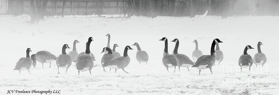 Canadian Geese by Julio Velez