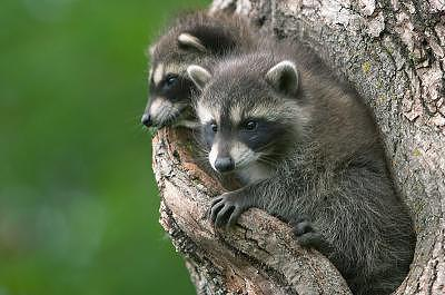 Canadian Raccoons Photograph by Cristy Simmons - Willett
