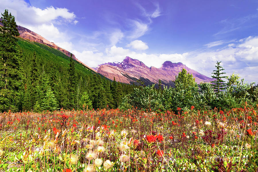 Canadian Rocky Mountain Indian Paintbrush Photograph