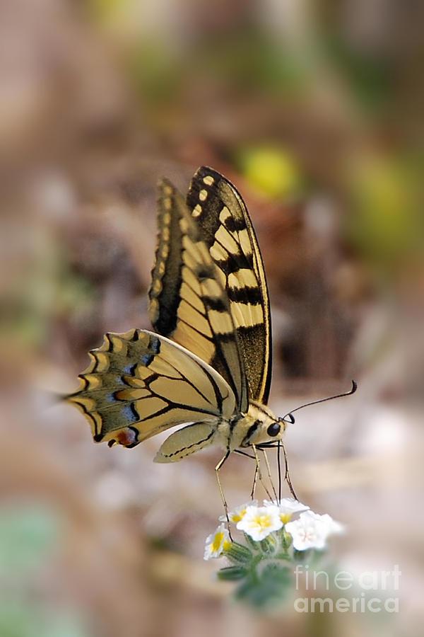 Canadian Tiger Swallowtail Photograph