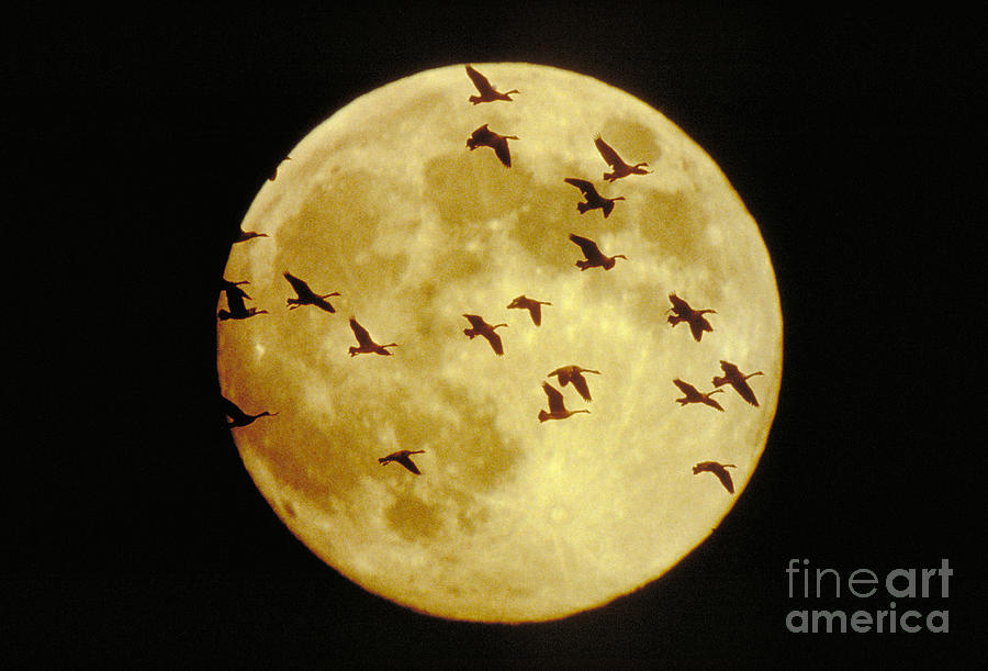 Goose Photograph - Canda Geese And Moon by Kenneth Fink and Photo Researchers
