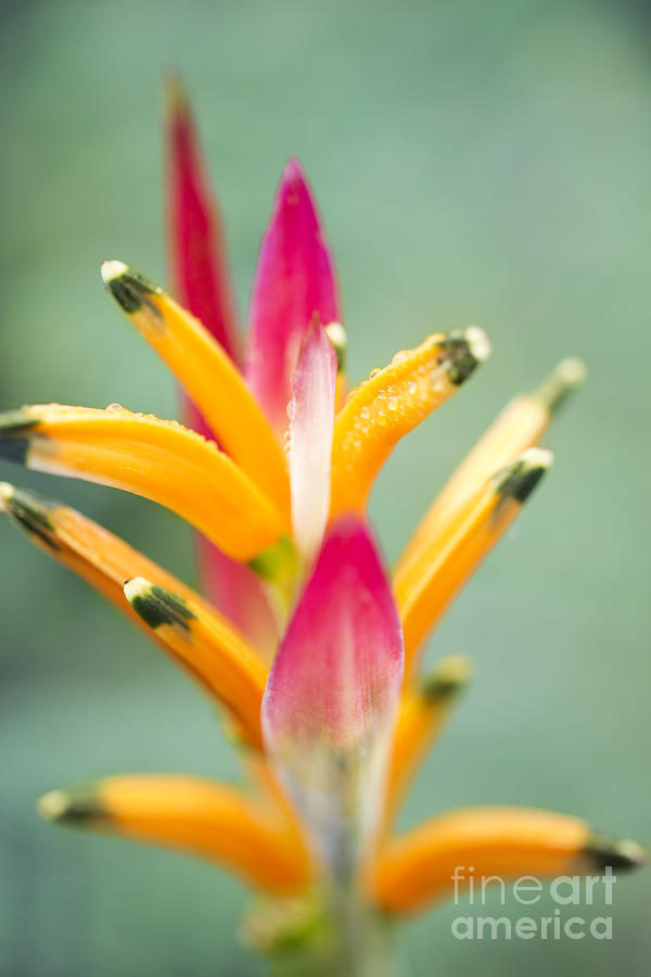 Candy Colours - Heliconia Tropical Flower by Sharon Mau