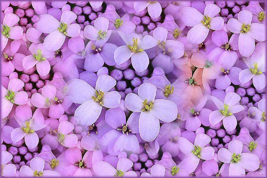 Candytuft Photograph by Mary P. Siebert