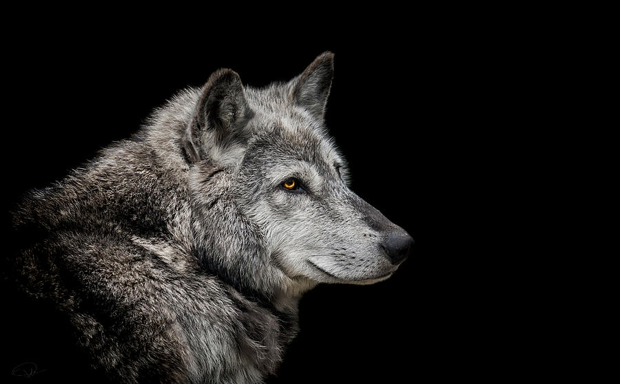 Canis Lupus Photograph