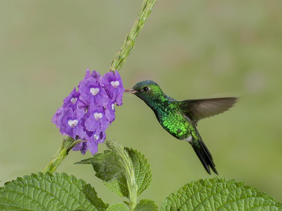 Hummingbirds Photograph - Canivets Emerald by Mauricio Calderon