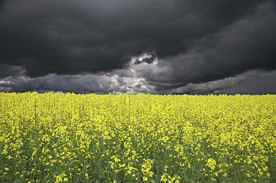 Canola Photograph - Canola Field by Anthony W Weir