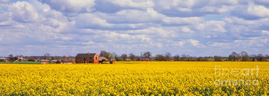 Canola Photograph - Canola Field by John Edwards