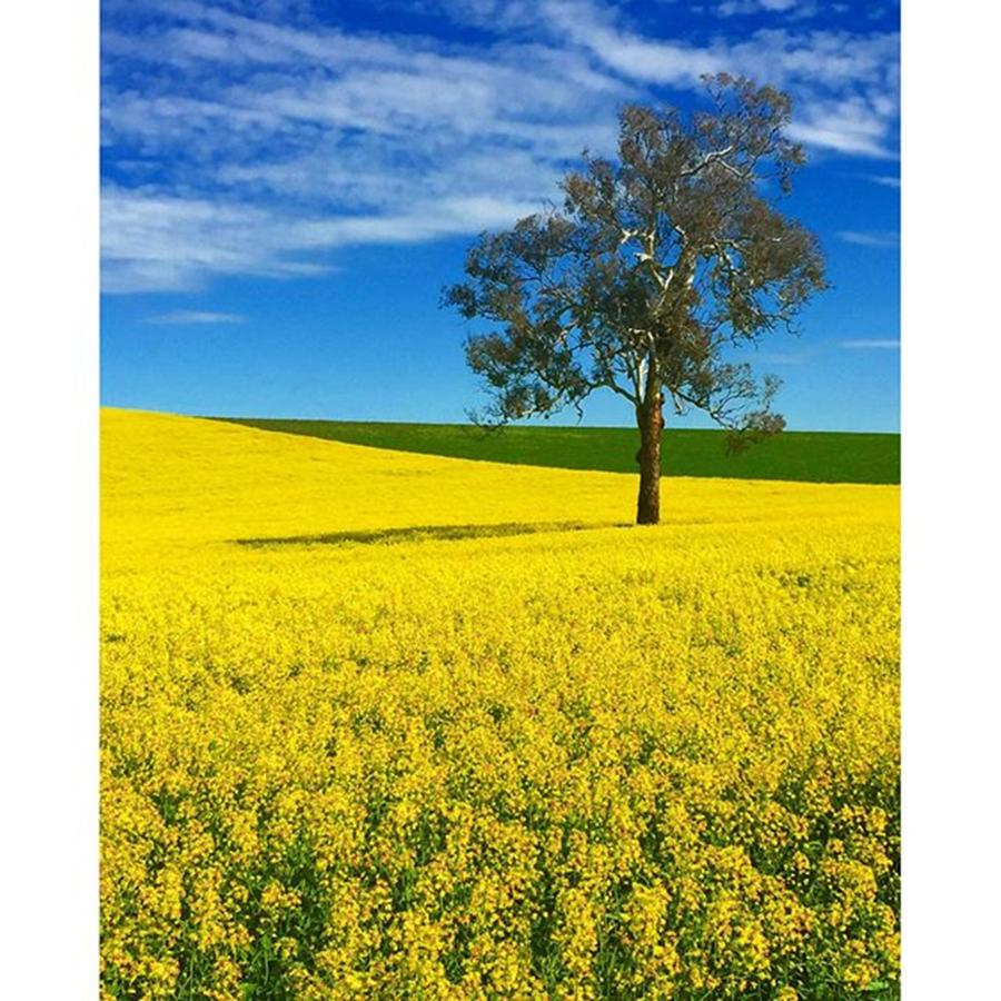Beautiful Photograph - Canola Fields Photo By @pauldalsasso by Paul Dal Sasso