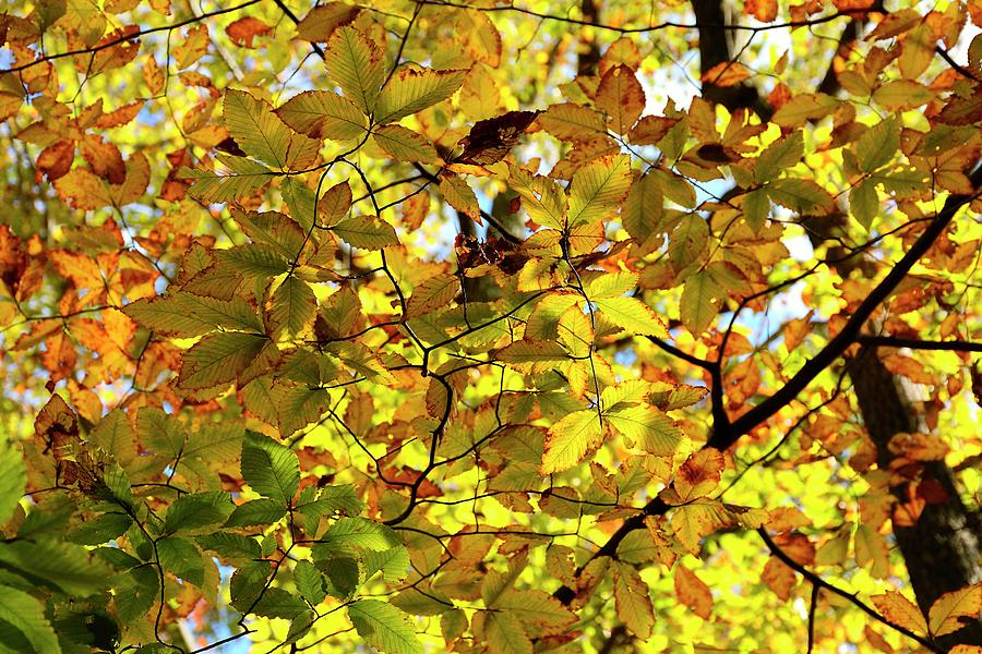 Autumn Photograph - Canopy Of Autumn Leaves  by Angie Tirado
