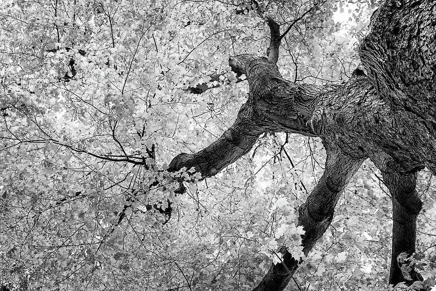 Abstract photograph canopy of autumn leaves in black and white by tom mc nemar