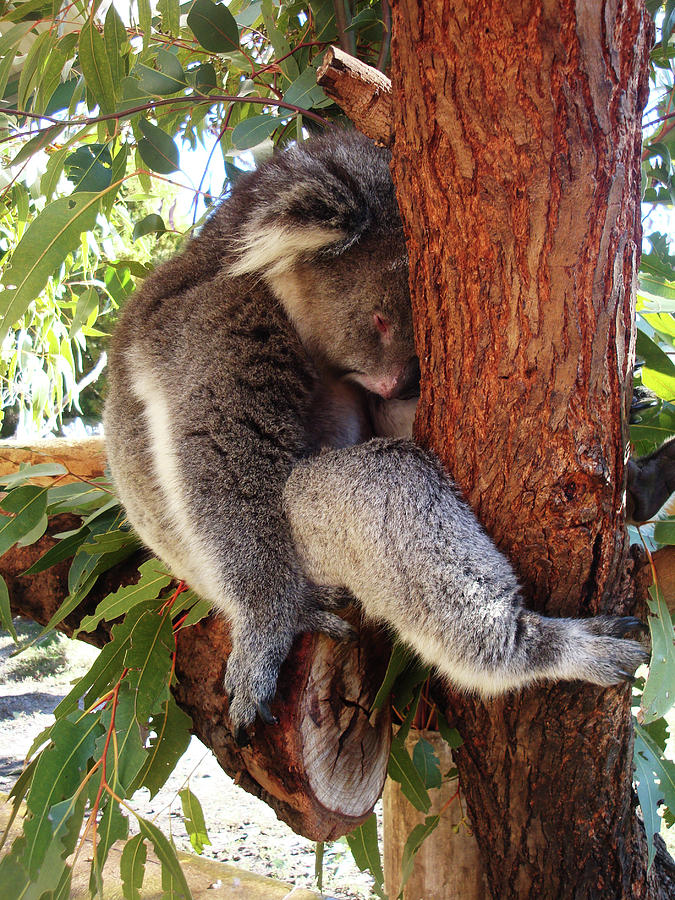 Koala Photograph - Cant Be Bothered by Kelly Jones
