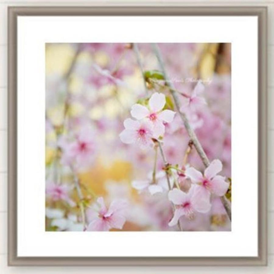 Cherryblossom Photograph - Cant Get Enough Of The #cherryblossom by Ivy Ho