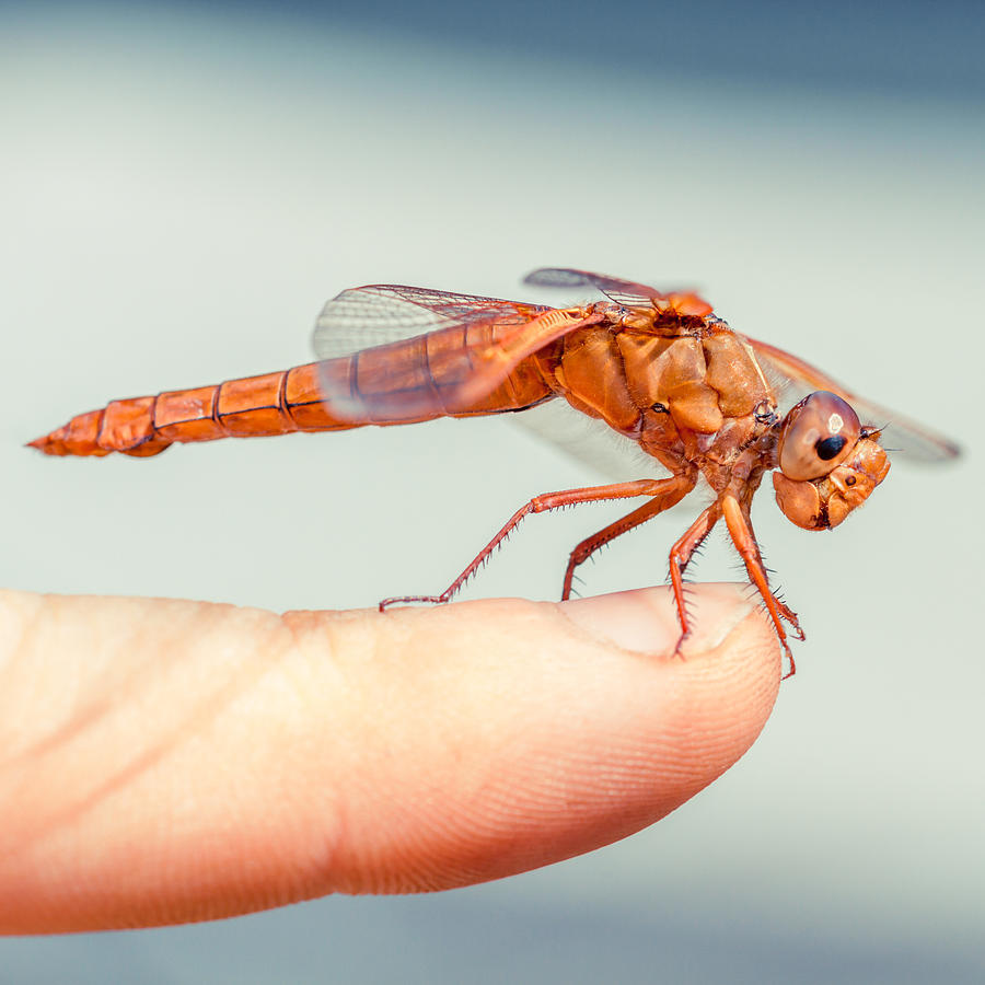 Dragonfly Photograph - Cant Make Up My Mind by TC Morgan