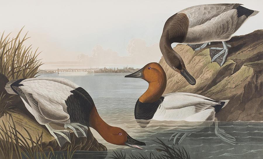 Audubon Painting - Canvas Backed Duck by John James Audubon
