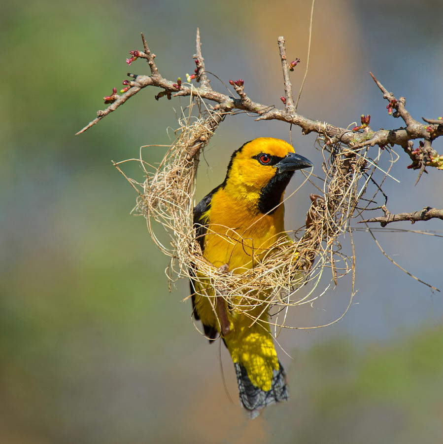 Color Image Photograph - Cape Weaver Bird Builds A Nest by Panoramic Images