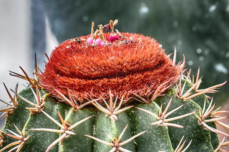 Capping A Cactus Photograph