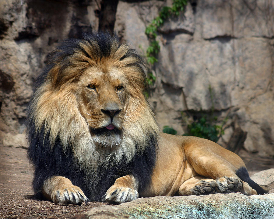 Lion Photograph - Captive Pride by Anthony Jones