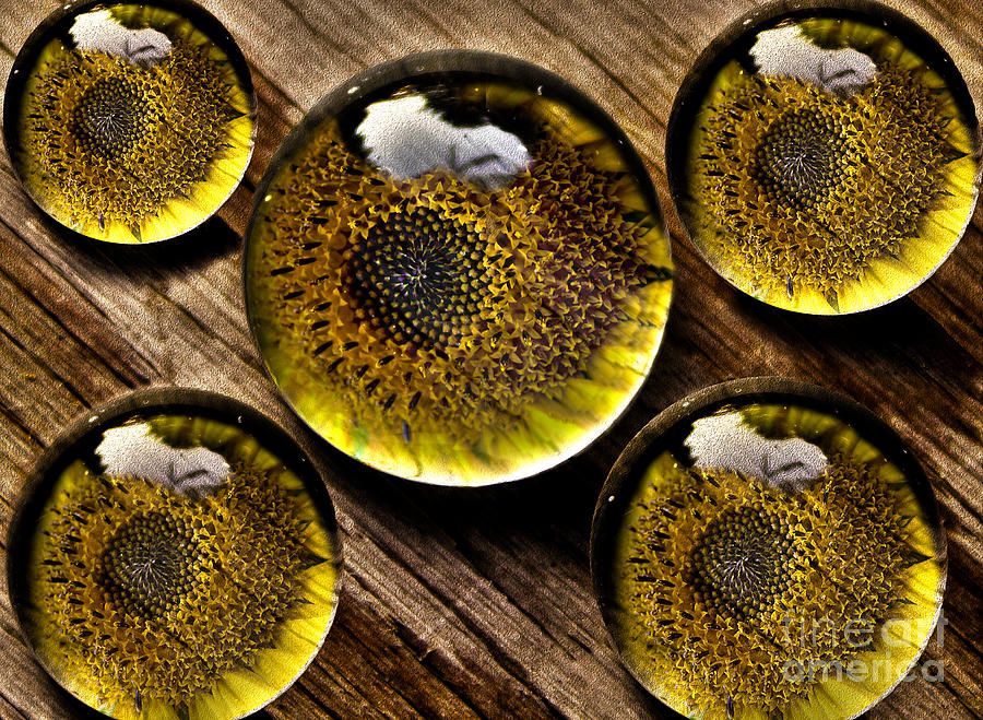 Sunflower Photograph - Captured Under Glass Series Group Two by Nina Silver