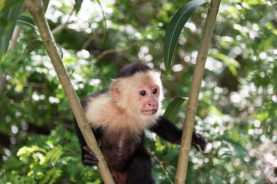 Wildlife Photograph - Capuchin II by Michael Santos