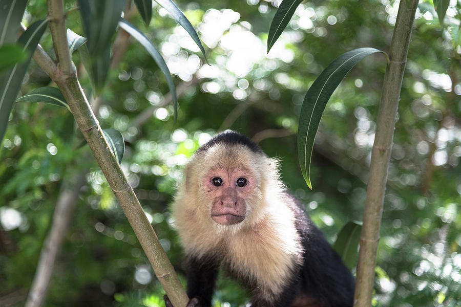 Wildlife Photograph - Capuchin by Michael Santos