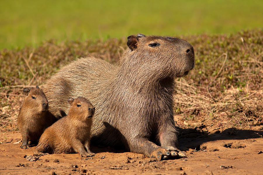 Capybara Family Enjoying Sunset by Aivar Mikko