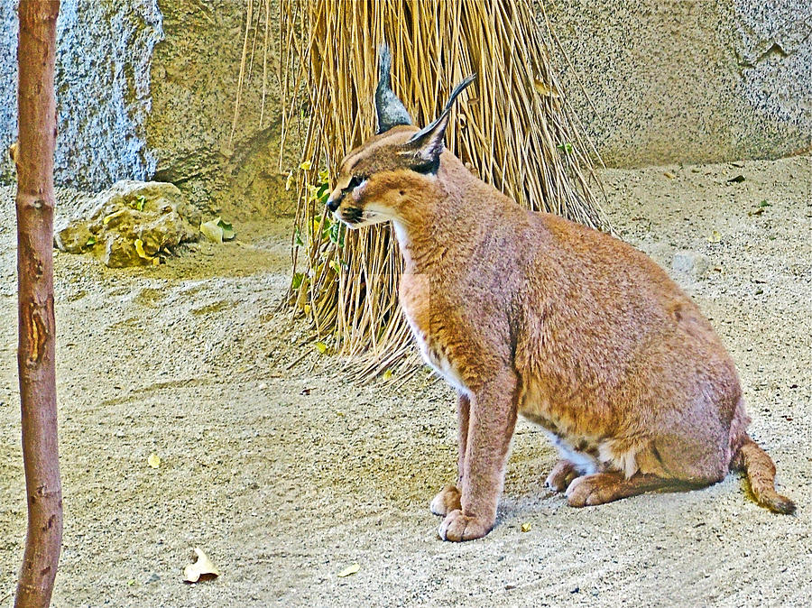 Caracal In Living Desert Zoo And Gardens In Palm Desert California Photograph By Ruth Hager