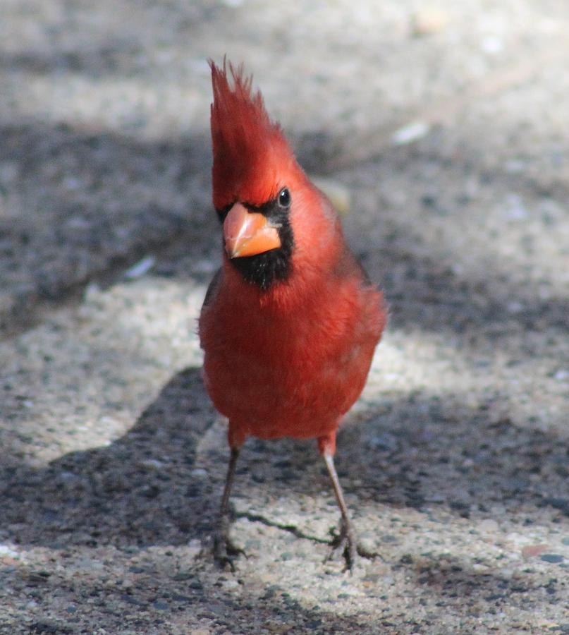 Bird Photograph - Cardinal 032714a by Edward Dobosh
