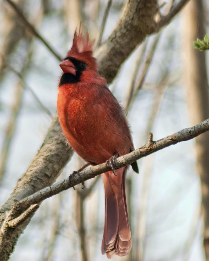 Bird Photograph - Cardinal 2 by Ron Fusco