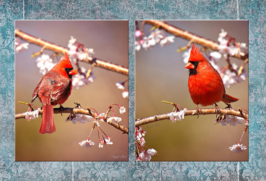 Cardinal Photograph - Cardinal Collage by Angel Cher