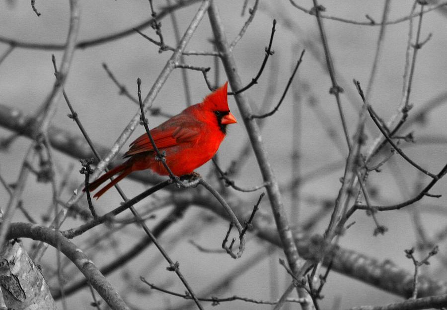 Bird Photograph - Cardinal Colorized by David Dunham