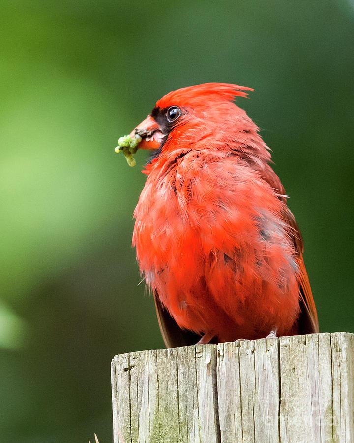 Cardinal Photograph - Cardinal by Eric Killian