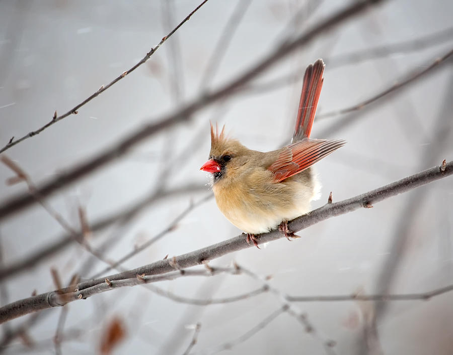 Cardinal Photograph - Cardinal Facing A Brisk Wind by Al  Mueller