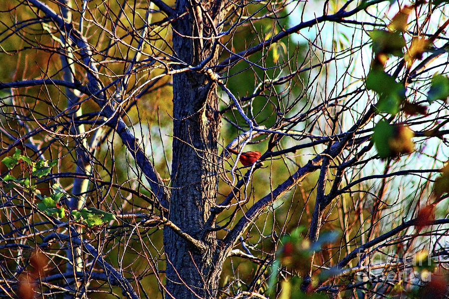 Cardinal In A Bare Tree Photograph