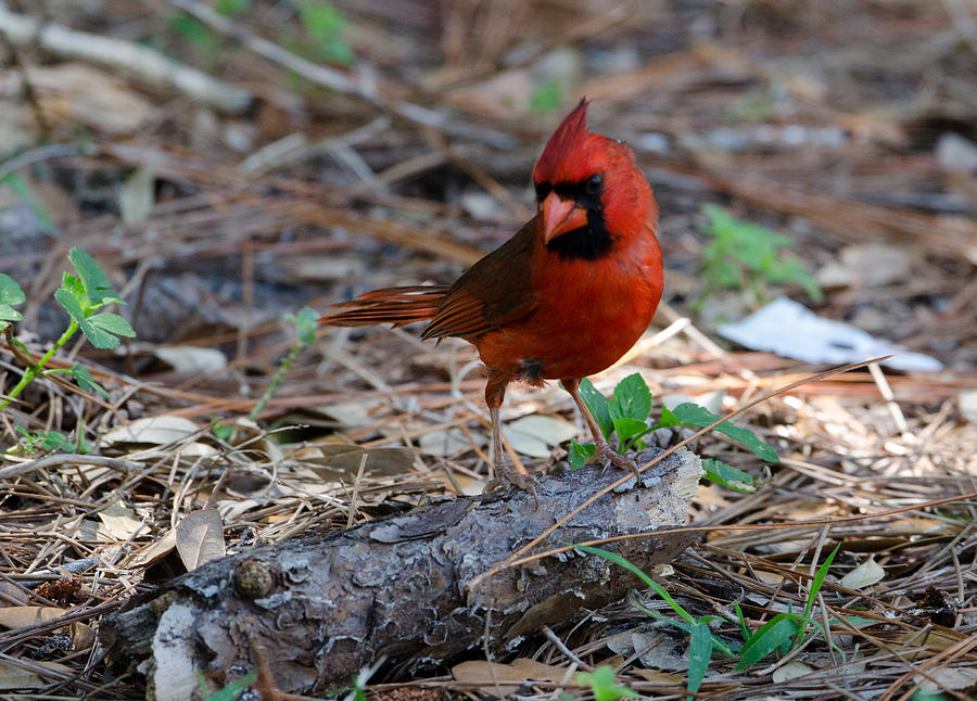 Cardinal Photograph - Cardinal In Charge by Julie Cameron