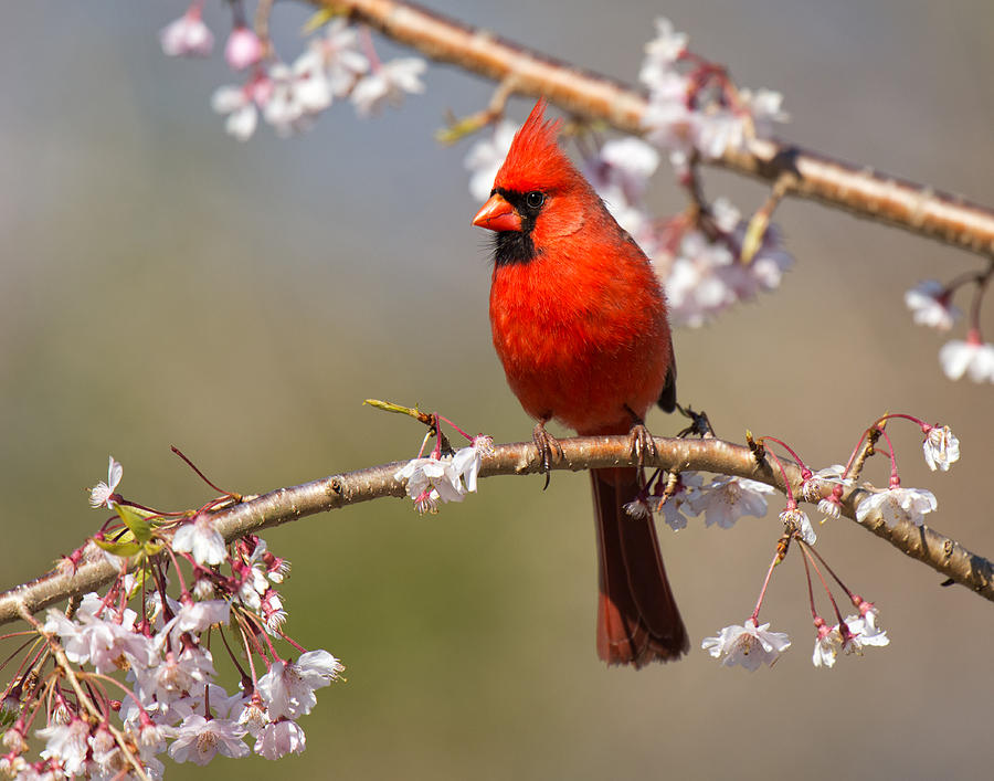 Cardinal Photograph - Cardinal In Cherry by Angel Cher