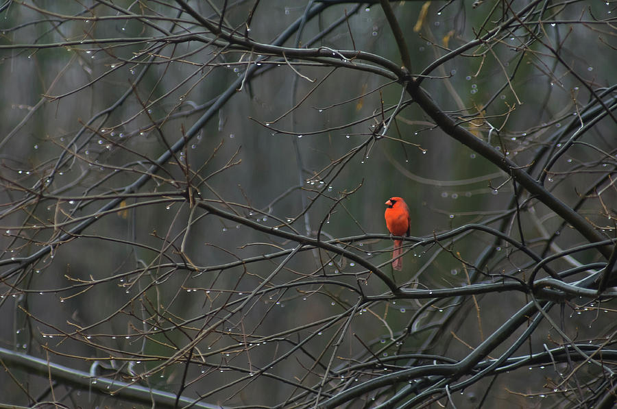 Birds Photograph - Cardinal In End Of Winter Rain by James Oppenheim